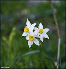 Narcissus tazetta (Zachi Evenor) Tags: flowers winter flower nature israel  narcissus    tazetta 2014 ramotmenashe  narcissustazetta      zachievenor
