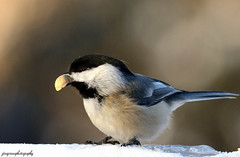 Black capped Chickadee (jdcalvin096) Tags: two black nature water birds flying wings warm wildlife egg flight beak feathers marsh winged capped avian natures legged laying creations blooded featheredbirds chicakadee
