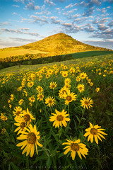 Steptoe Butte Sunrise (Jim Patterson Photography) Tags: green rural landscape washington spring farming rustic pullman americana tradition agriculture eastern rollinghills colfax agricultural palouse jimpatterson jimpattersonphotography jimpattersonphotographycom seatosummitworkshops seatosummitworkshopscom