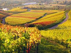 Autum Vineyards Germany (Habub3) Tags: canon germany deutschland vineyard herbst powershot g12 2014 weinstadt habub3