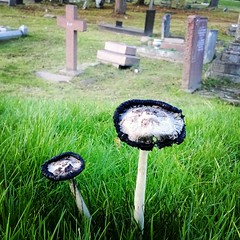 Shaggy inkcap (Daniel James Greenwood) Tags: mobilephone mobilephonephotos instagram instagramphotography nokialumia