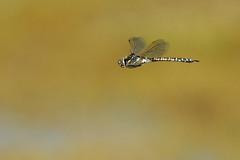 Aeshna interupta at Herschel Island, Yukon. 19 Aug 2012. (Cameron Eckert) Tags: colour cute nature beauty insect wings natural dragonfly flight arctic yukon organic wilderness predator rare climatechange wetland ecological ecosystem biodiversity odonata