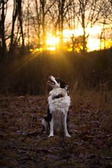 Basking (c.r.borders) Tags: sunset dog dusk goodnight aussie australianshepherd goldenhour wintersun dogportrait