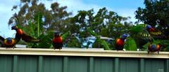 DSC_0074 (RUMTIME) Tags: bird nature birds fly flying flight feathers feather lorikeet queensland coochie coochiemudlo