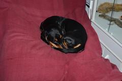 _141212_3792 (verbeek_dennis) Tags: dachshund tax kaapo dashond myrkoira  gravhund jazvek tksa