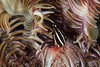 Crinoid Squat Lobster (PacificKlaus) Tags: ocean underwater philippines scuba diving echinoderm negros invertebrate marinelife nightdive dauin crinoid squatlobster commensalism allogalatheaelegans crustancean