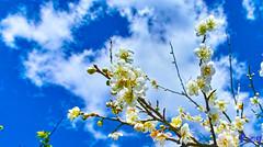 SDIM0036 (CBR1000RRX) Tags: flower club blossom plum
