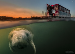 Morning Rendezvous (Jeff Stamer (Firefallphotography.com)) Tags: river bay crystal manatee crystalriver underwaterphotographysnorkelingfloridasea cowkings