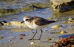 Tiny bird on the shore (abdulameeri) Tags: bird beach united uae emirates arab shore tiny دولة الامارات ابوظبي سيف شاطئ العربية طير albahia طائر المتحدة الباهية abudldhabi albaheya