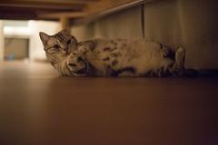 アメショーの「うな子」 (mijabi) Tags: japan cat eos 50mm tokyo americanshorthair 14 olympus 日本 東京 om 猫 zuiko 6d ぬこ eos6d アメショー アメリカン・ショートヘア