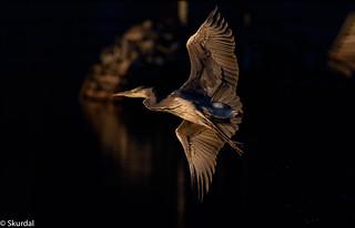 Heron hegre