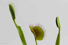 "Venus Flytrap • <a style=""font-size:0.8em;"" href=""http://www.flickr.com/photos/92159645@N05/16234239602/"" target=""_blank"">View on Flickr</a>"