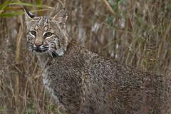 Bobcat (Stephen J Pollard (Loud Music Lover of Nature)) Tags: mammal bobcat lynxrufus mamfero lince