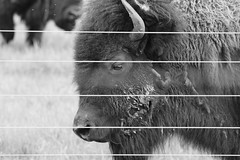 Buffalo, Fermilab. 10 (EOS) (Mega-Magpie) Tags: bw usa white black america canon outdoors eos illinois buffalo outdoor dupage il batavia kane fermilab winfield bison monochorme 60d