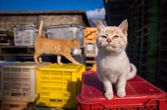 thrivers on islands #75 (Muduki Island, Ehime) (Marser) Tags: japan cat island kitten raw gr  ricohgr  ehime lightroom  grd