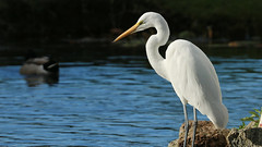 IMG_8842 (Stonez06) Tags: white heron napier andersonpark kotuku