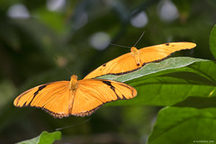 Butterfly 2016-59 (michaelramsdell1967) Tags: light orange plant color green love nature beautiful beauty animal animals closeup butterfly bug garden insect hope spring nikon natural vibrant wildlife butterflies vivid insects bugs zen upclose