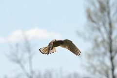 Kestrel (ny.erik) Tags: bird nikon tamron kestrel birdofprey d5200 150600