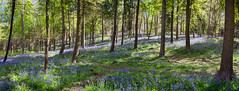 Austy Wood Panoramic 01 (Photograferry) Tags: flowers trees nature sunshine bluebells forest woodland spring colourful warwickshire