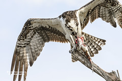 Osprey Tears a Chunk of Fish at Ding Darling, Florida (D200-PAUL) Tags: florida sanibel osprey pandionhaliaetus wildliferefuge fisheagle nationalwildliferefuge fishhawk seahawk nwr dingdarling dingdarlingnationalwildliferefuge riverhawk paulfernandez
