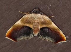 Moth_053016b (Eric C. Reuter) Tags: ny nature wildlife may insects moths hancock catskills 2016 somersetlake mothing 053016