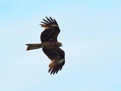 Japanese black kite () (Greg Peterson in Japan) Tags: birds japan wildlife rivers shiga jpn moriyama blackkites shigaprefecture yasugawa rittocity