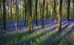 Blue Bed (Richard Paterson) Tags: light sun west woodland sussex spring woods rays bluebell