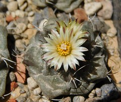 Turbinicarpus swobodae (Resenter89) Tags: flowers red cactus yellow cacti mix grasse desert soil mineral cactaceae piante kakteen succulente turbinicarpus cactacee swobodae