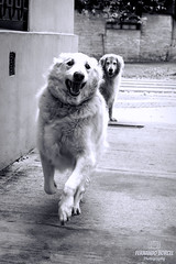 Run Max, run! (Fer-B.) Tags: old city blackandwhite bw dog dogs smile goldenretriever fun happy golden play running run