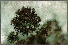 Sobre el papel (seguicollar) Tags: flores flower art arte flor artedigital pintura photomanipulacin imagencreativa artecreativo virginiasegu