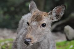 Nara () (mrsjohnketta) Tags: macro cute nature animal animals japan closeup nikon deer  nophotoshop lovely nikkor nara  deers    d300 shika 105mm