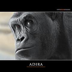 ADIRA (Matthias Besant) Tags: animal animals mammal zoo monkey tiere gorilla ape monkeys mammals apes fell tier affen primates affe zolli zoobasel primat hominidae primaten adira querformat saeugetier saeugetiere menschenaffen hominoidea trockennasenaffe menschenartige affenfell menschenartig affenblick matthiasbesant