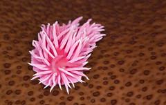 Hopkin's Rose Sea Slug (matt knoth) Tags: nudibranch tidepools halfmoonbay mollusk seacreature pillarpoint turkishtowel