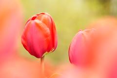 Red Tulip (evisdotter) Tags: red flower macro colors spring bokeh tulip blomma tulpan sooc