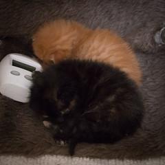 IMG_9490 (jaglazier) Tags: usa cats playing cute animals babies unitedstates tiger may indiana kittens siblings bloomington mammals blackie 2016 52416 copyright2016jamesaglazierandjamesaferguson