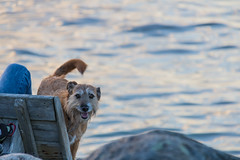 Dog (Infomastern) Tags: bridge sunset sea sky cloud dog animal himmel hund bro hav solnedgng djur moln resundsbron brofstet
