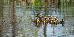 Come on kids stay close (Alan McCollough) Tags: birds oiseaux domaine maizeret