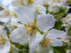 Bathed in White (uk_dreamer) Tags: summer sunlight white flower detail nature sunshine june dof bokeh natur depthoffield