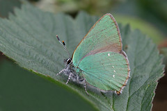 Img_1584_85Cn (wim_z) Tags: closeup canonef100mmf28lisusm nature 70d animals insect butterfly callophrysrubi vlinder
