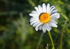 Morning Dew Wild Flower (t5909sw) Tags: flowers ladybug morningdew grandrapidsmichigan t5909sw