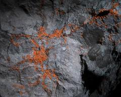 Fluorescing lichen (rexp2) Tags: night flickr nikkormicro105mmf28 lichenfungus sonyalpha7rilce7ra7r ultravioletlightfluorescence400nmuv filterwratten12yellowblue