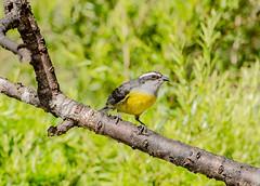 RSS_0547 (RS.Sena) Tags: brazil bird nature forest nikon natureza pssaro atlantic ave birdwatching mata atlntica d7000 sopaulobr