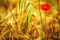 Poppy (patrickmai875) Tags: red orange green rot art love nature field yellow canon warm kunst natur feld romance gelb poppy 70200 f28 liebe 6d mohn klatschmohn