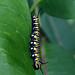 Monarch caterpillar on common milkweed in Minnesota