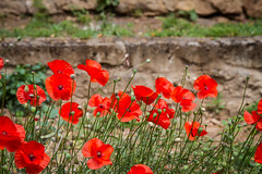 Poppies (Sally Dunford) Tags: montpellier poppies canon1755mm jardindesplantesdemontpellier canon7d sallyfrance2016 sallyjune2016
