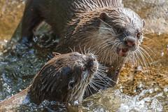 Otters fighting (greenzowie) Tags: water animal june mammal zoo edinburgh otters edinburghzoo 2016 photographyworkshop greenzowie