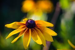summer susan (muskokaTIMe) Tags: blackeyedsusan daisy flower yellow macro bokeh wildflower