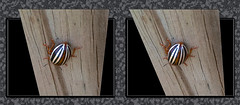 False Potato Beetle Backside - Parallel 3D (DarkOnus) Tags: macro beautiful closeup bug insect stereogram 3d phone pennsylvania butt beetle cell stereo potato hyper backside parallel thursday stereography buckscounty false huawei leptinotarsa ttw hyperstereo bbbt juncta mate8 beautifulbugbuttthursday hbbbt darkonus