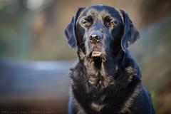 Blue. (Marcus Legg) Tags: blue dog pet max canon woodland eos labrador bokeh petportrait blacklabradorretriever magicdrainpipe ef80200mmf28l 1dmarkiv marcuslegg