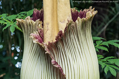 Corpse Flower at NYBG (P7300965) (Michael.Lee.Pics.NYC) Tags: newyork nybg newyorkbotanicalgarden corpseflower bloom conservatory olympus em5 markii mkii 40150mmpro28